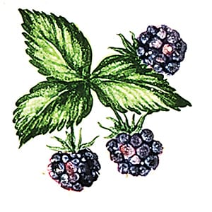 Fruit Blackberries B Glossy Ceramic Tiles 4x4